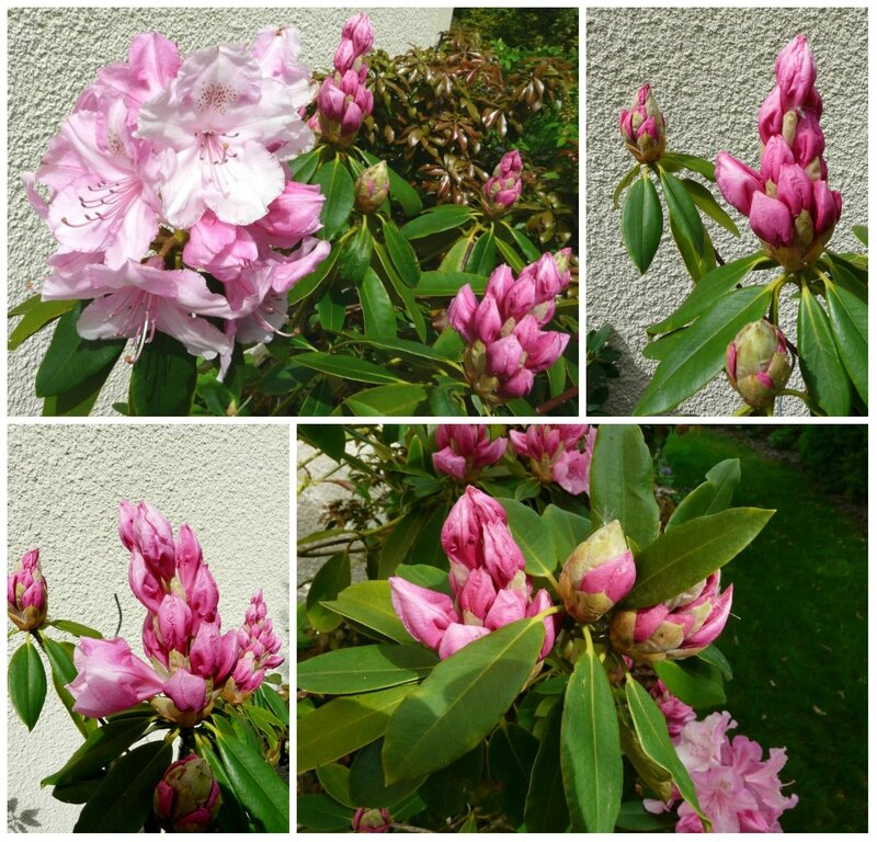 05 - Rhododendrons