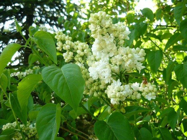 2017 printemps blanc 1lilas
