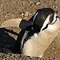 Pingouin de magellan Punta Arenas Isla Magdalena