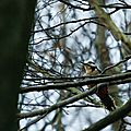 Pic epeiche - great spotted woodpecker