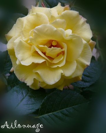 Rose_Jaune__panouie