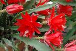 Epiphyllum_sp