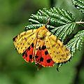 Rhyparia purpurata (Écaille pourprée, Écaille pourpre, Écaille