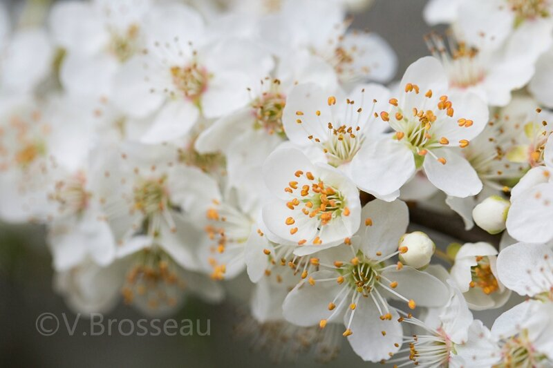 prunus-savage-15-02