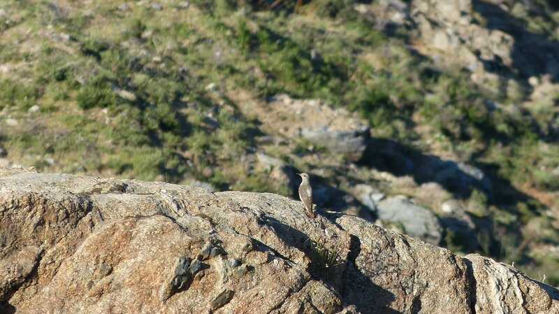 merle de roche femelle -lozzi 06_2017 Br