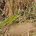 lézard vert 5 (femelle)