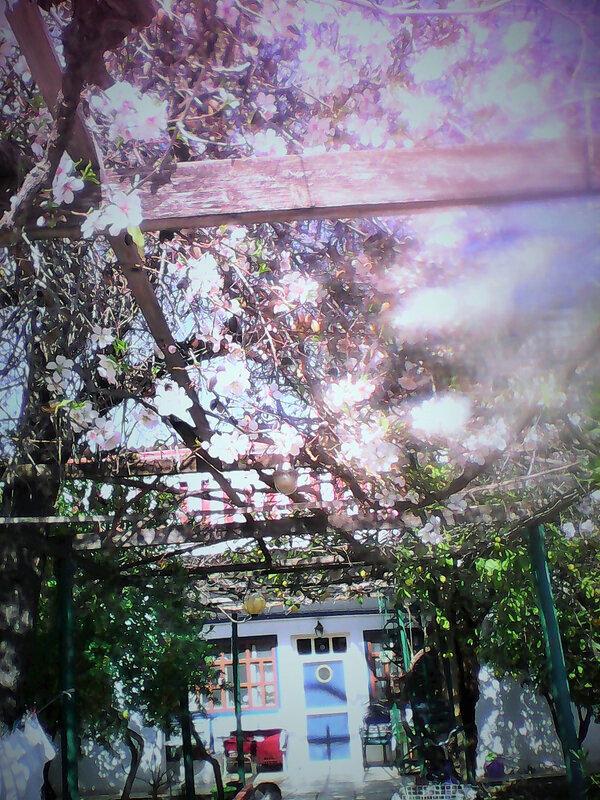 amandiers en fleurs et maison