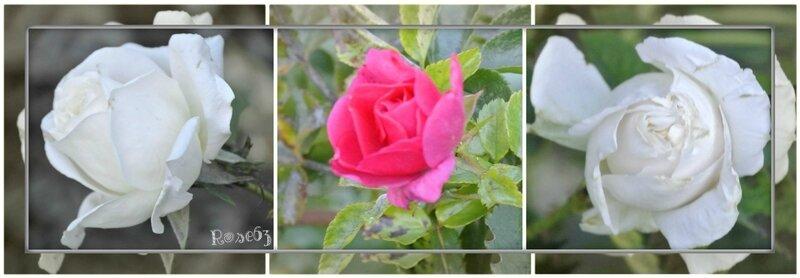 mes roses dans mon jardin c'étit le 4 nov 2017 Rose63