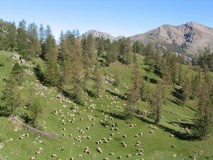 Moutons___Allos_5