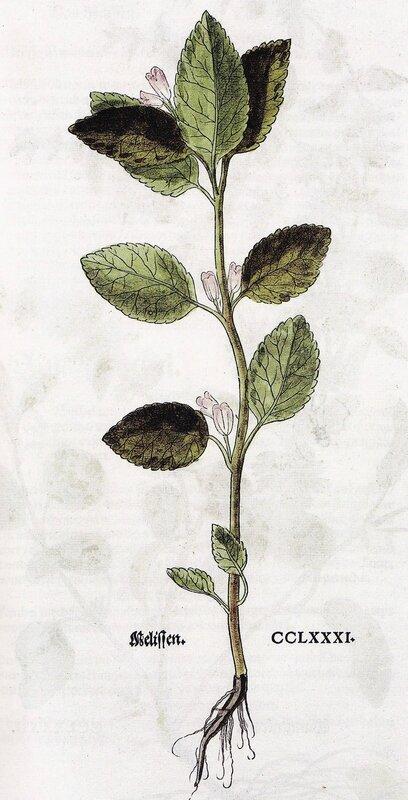 Mélitte feuilles de mélisse