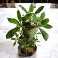Pachypodium rosulatum horombens