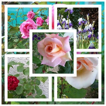 page roses