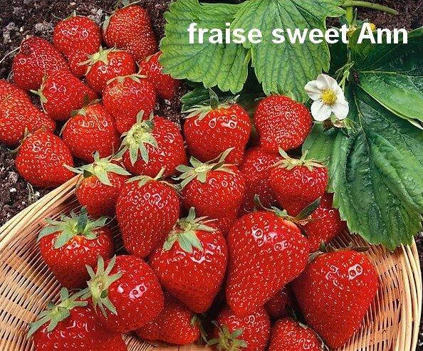 fraisier-sweet-ann