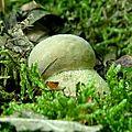 Florilège de cèpes 2017 en plaine béarnaise