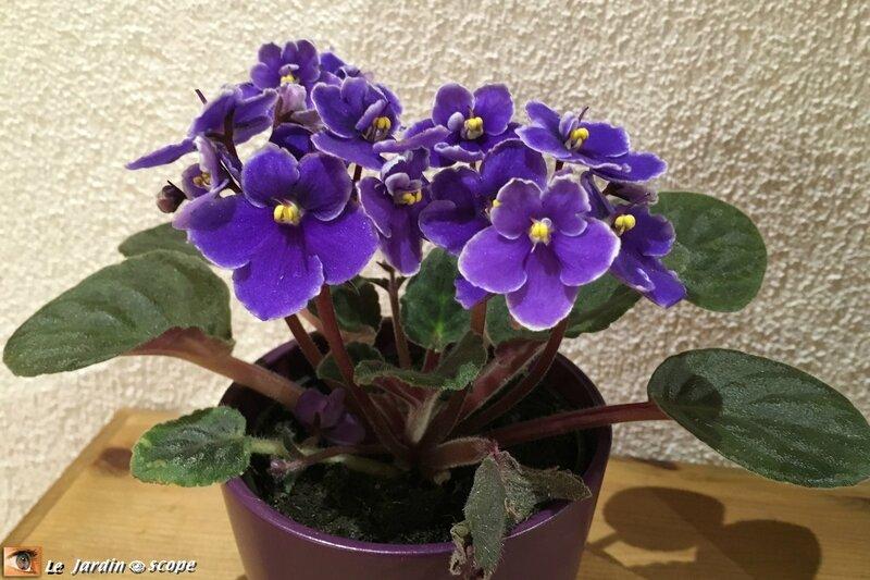 Saintpaulia ou Violette africaine violet-profond