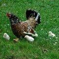 maman et ses poussins