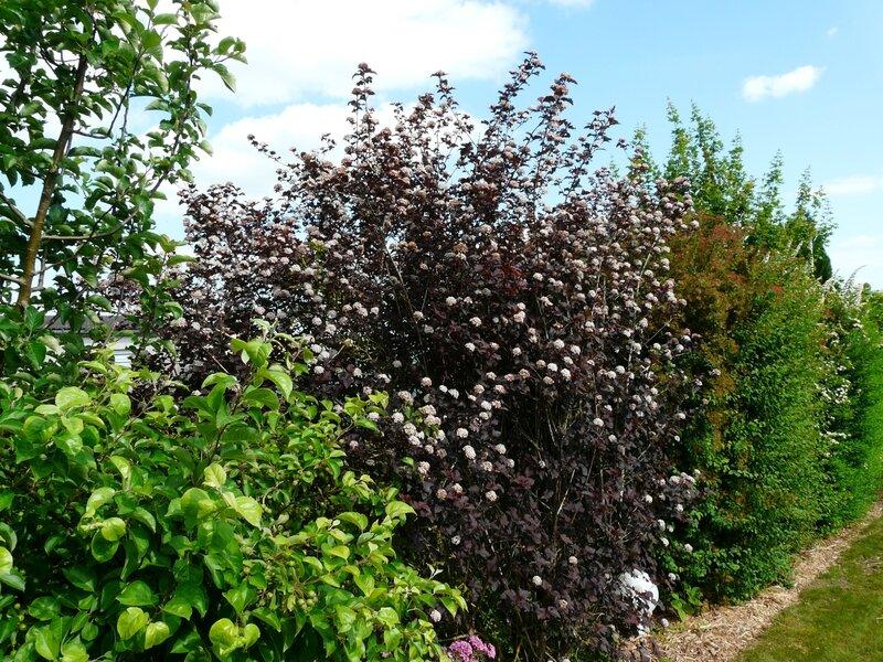 Dans la haie - Le jardin de Marguerite Rose