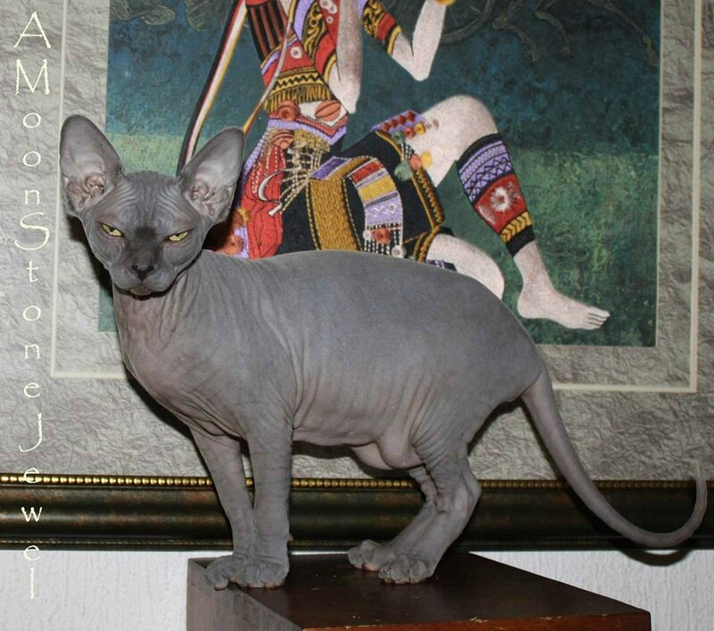 Sphynx Lady In Blue