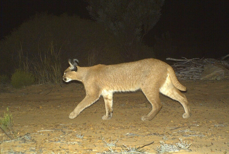 Photo de caracal issue d'un piège photographique posé dans le Karoo-2