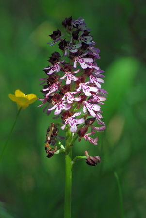 95_Ch_rence_058001orchis_