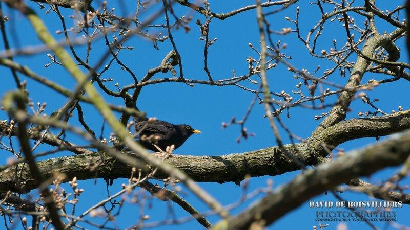 Merle noir (Turdus merula - Common Blackbird) ♂