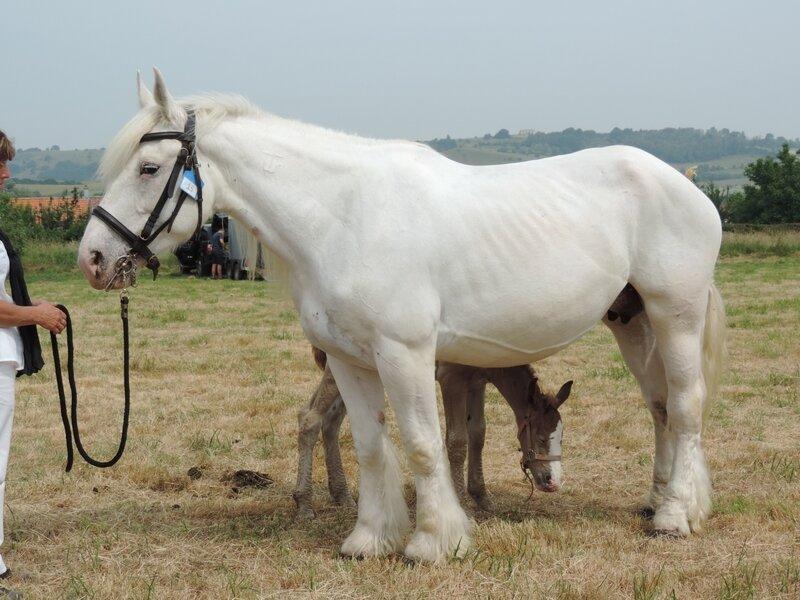 Bérengère 4 - 20 Juin 207 - Concours élevage local - Bonningues les Ardres (62) - 5e (Suitées)