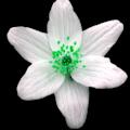 fleur-simple-verte