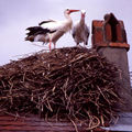 Cigognes blanches à ailes noires