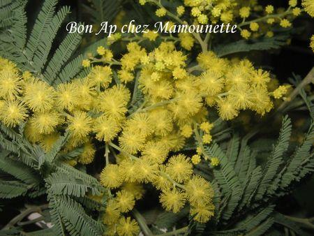 Mimosa_fleuri_15_f_vrier_2011_008