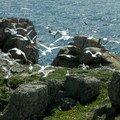 Goélands - Baie de Lampaul