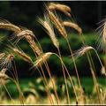 1 blog blé