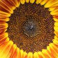 2009 07 29 Le coeur d'un tournesol coucher de soleil