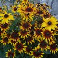 2009 08 17 Rudbeckias en fleurs