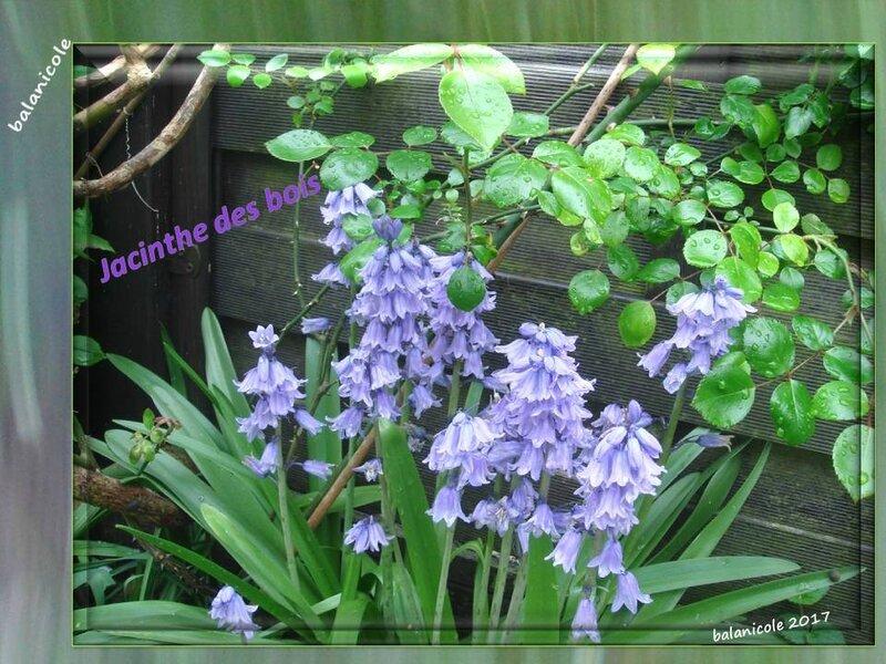 balanicole_2017_06_le printemps des vivaces 02_30_jacinthe des bois2