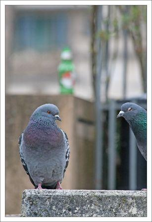 ville_pigeons_Kro_3_130311
