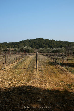vignes3_copie