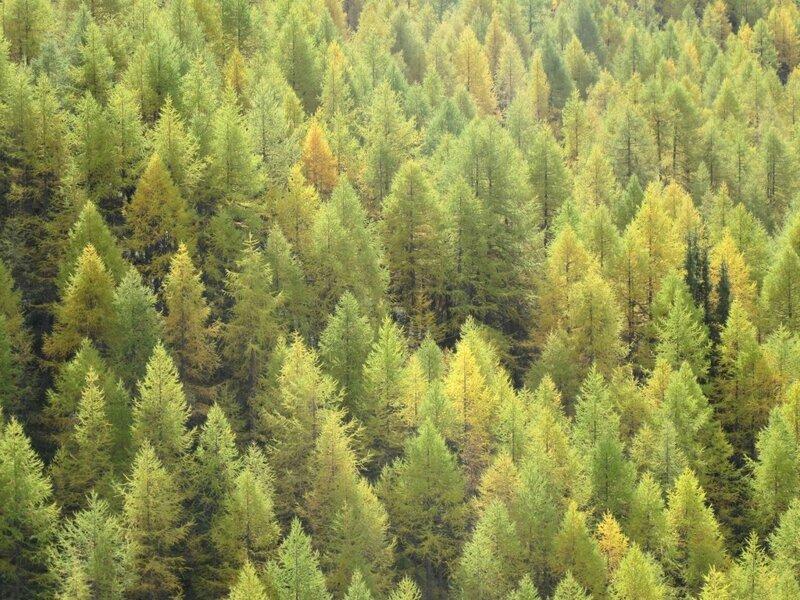 1-11-10 Forêt mélèzes le Monal