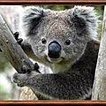 AUSTRALIE - KOALA 2