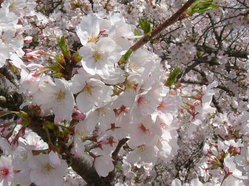 cerisier_en_fleurs2w