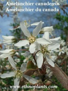 amelanchier-ethnoplants