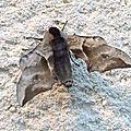 Smerinthus ocellata (le sphinx demi-paon)
