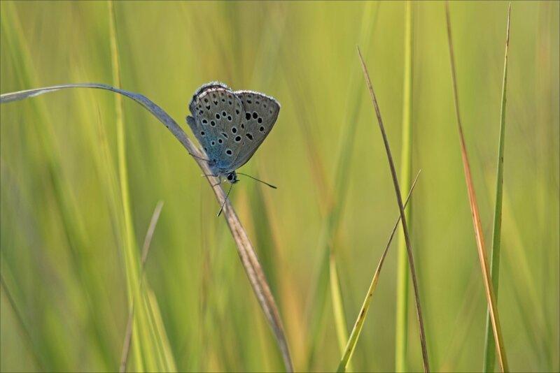 Torfou papill azuré du serpolet 150717 1