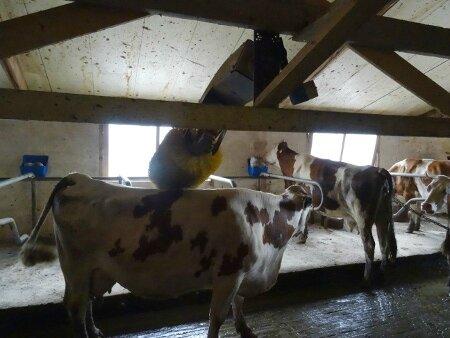 Vache séance bien être