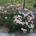2009 07 14 Fleur d'Achillée