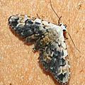 Araeopteron sp. 01