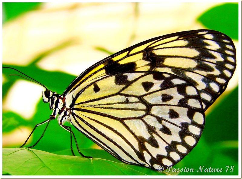 Les papillons (1)