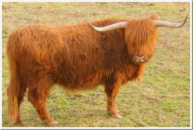 La vache de race Highland (18)