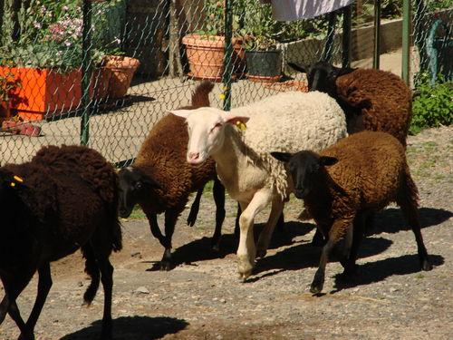 2008 07 04 Les moutons dans la cour