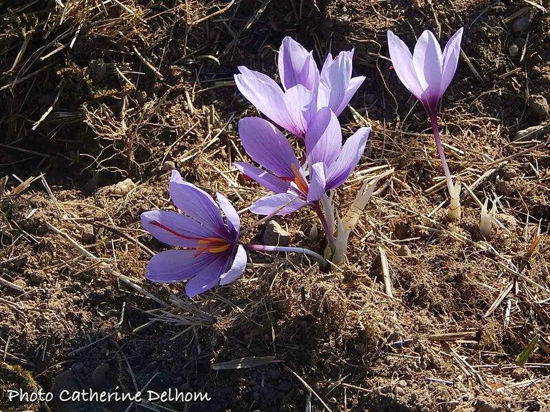 Crocus à safran • Crocus sativus
