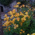 2009 10 13 Chrysanthème d'automne en fleurs (4)